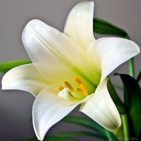 number 16 all about easter lilies