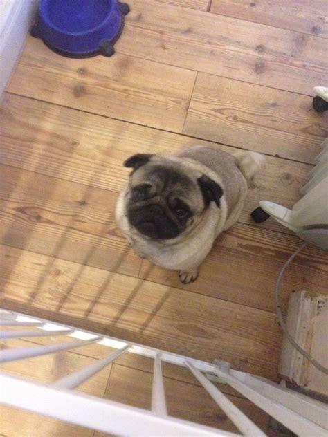 stud pugs pug for stud northton northtonshire pets4homes