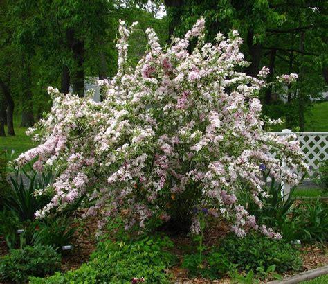 Photo of the entire plant of Weigela (Weigela florida