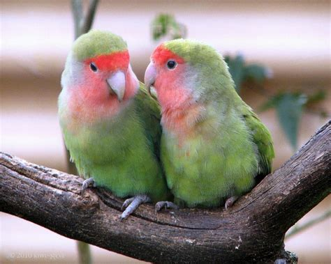 For Lovebird lovebirds