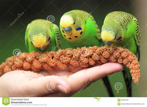 pappagallini ondulati alimentazione alimentarsi i pappagallini ondulati immagine stock