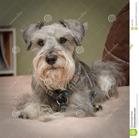gray dogs cozy small grey stock photo image 14217460