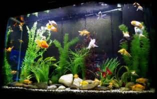 fish tank l how to set up a fish tank for goldfish aquarium adviser