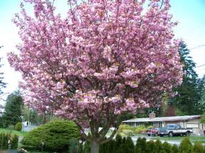 file ornamental cherry tree in full bloom jpg