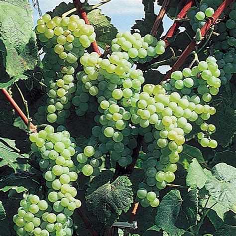 our most wanted grape vine collection grape vines