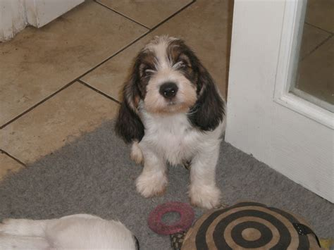 petit basset griffon vendeen puppies for sale petit basset griffon vendeen puppies spalding lincolnshire pets4homes