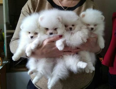 real pomeranian real pomeranian puppies white amle for sale