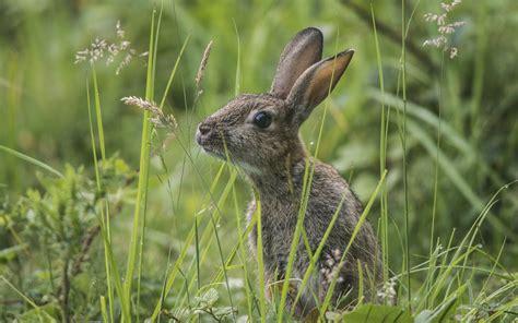 grey rabbit wallpaper download wallpaper 1920x1200 wild bunny in the grass gray