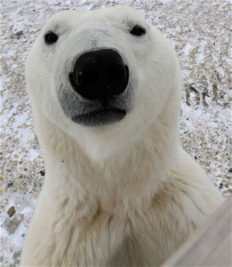 polar skin color polar skin is black churchill polar bears