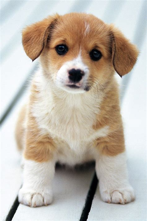 top ten cutest puppies top 10 cutest dogs in the world