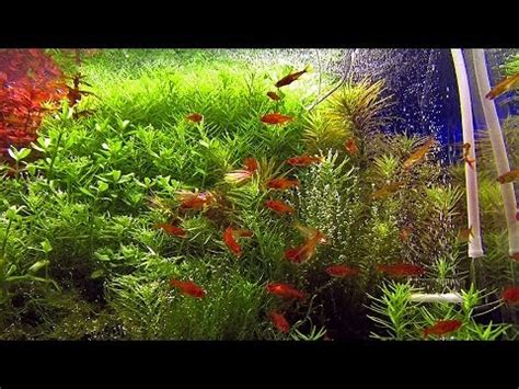 How To Make An Aquascape 40 Ember Tetra Hyphessobrycon Amandae In Densely Planted