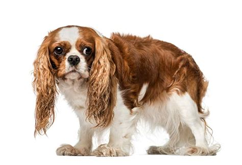 puppy anxiety generalized anxiety and anxiety disorders in dogs what is anxiety petmd
