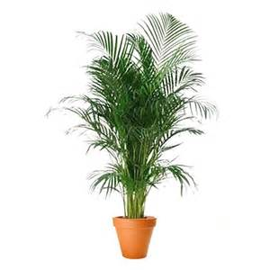areca palm 12 pot flower and plant delivery nyc