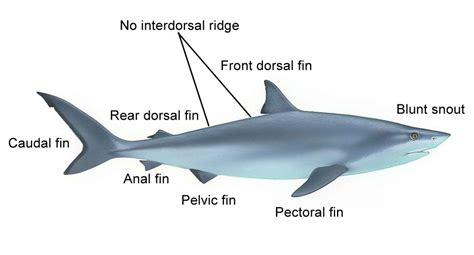 great shark diagram pictures to pin on pinsdaddy