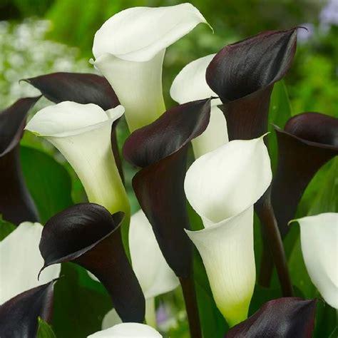 fiore di calla fiori calla fiori di piante