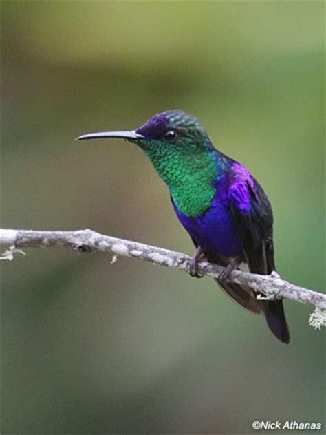 canada goose migrating hummingbirds