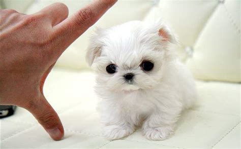 adorable puppies for sale maltese puppies for sale pictures litle pups