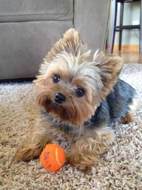 miniature yorkie haircuts 25 best ideas about yorkie hairstyles on puppies