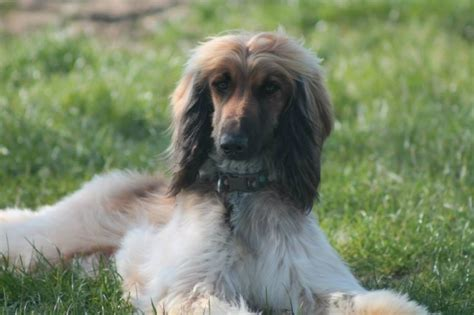 afghan hound puppies for sale afghan hound puppies loughborough leicestershire pets4homes