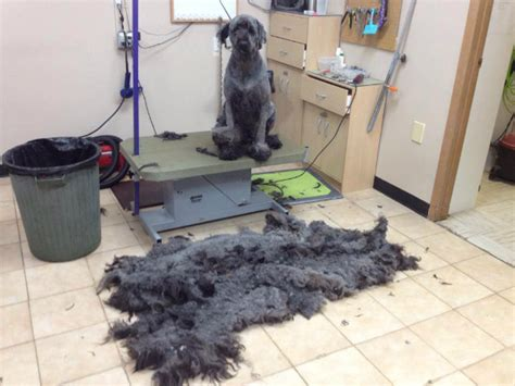dog grooming clipper burn pro tips for diy dog grooming dogster