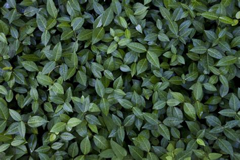 related keywords suggestions for shrub leaves