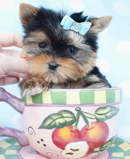 teacup yorkies south florida 134 best images about yorkie puppies for sale on yorkie puppies