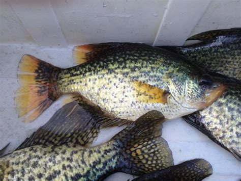 yellow crappie yellow fin crappie