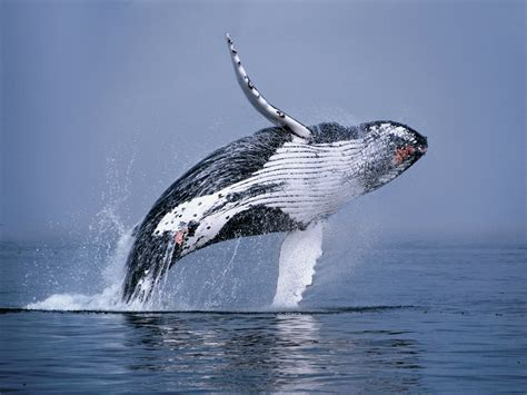 image gallery humpback whale breaching