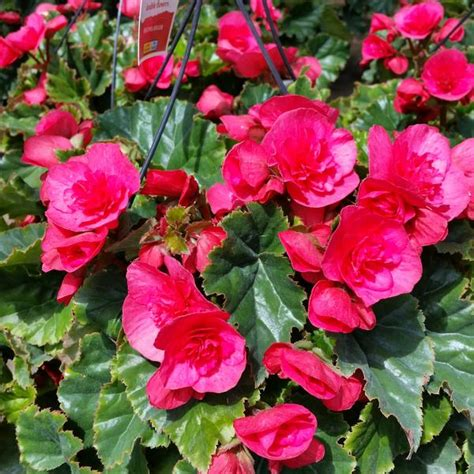 begonia rieger begonia rieger evi bright pink from