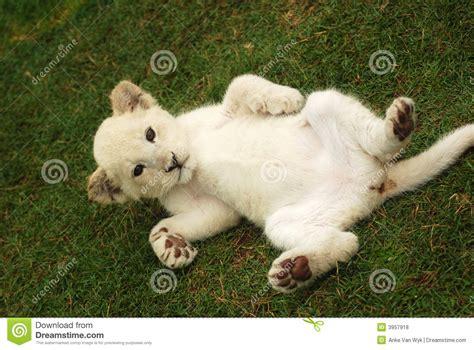 imagenes leon blanco fotos le 243 n blanco del beb 233 foto de archivo imagen de gatos