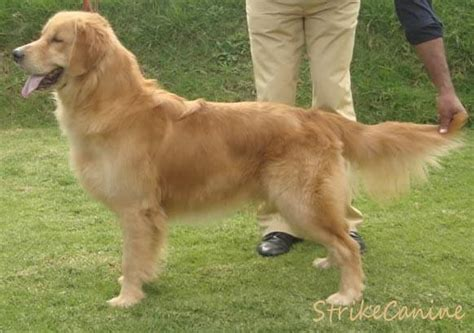 price of golden retriever in rupees golden retriever puppies for sale m raju 1 8692 dogs for sale price of puppies