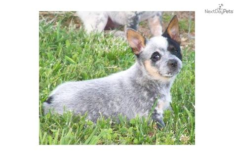 blue heeler puppies for sale in tn australian cattle blue heeler puppy for sale near chattanooga tennessee
