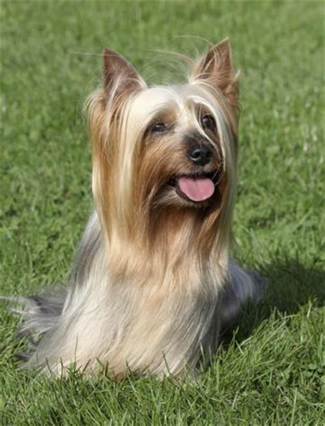 pictures of silky yorkies silky terrier vs terrier analyzing the differences