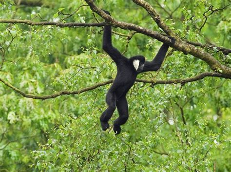 animals that swing from trees pictures hundreds of rare gibbons found in vietnam