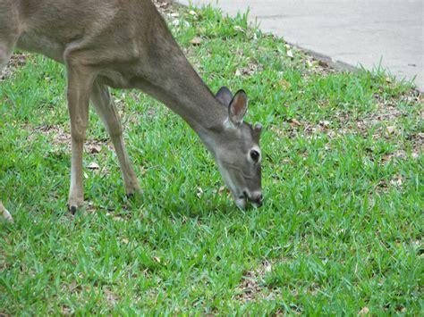 eats grass plantanswers plant answers gt deer grass