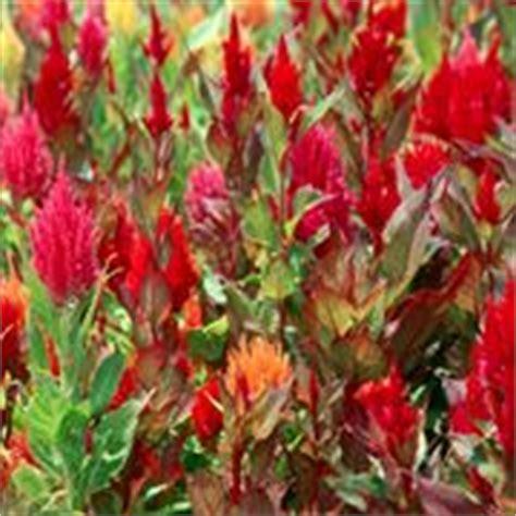 cresta di gallo fiore celosia piante appartamento
