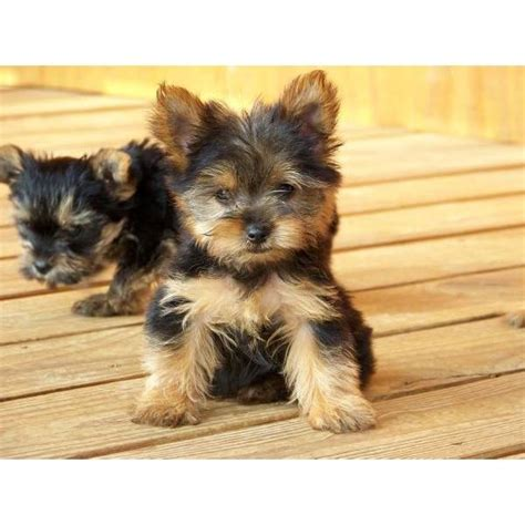 teddy yorkies for sale teddy puppies 100 00 for sale united states 1