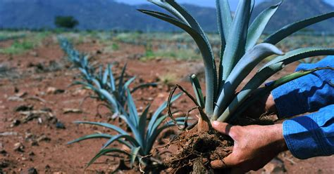 Agave Landscape And Ancient Industrial Facilities Of