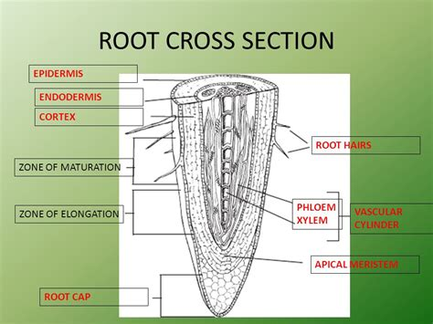 cross section of the root roots structure function ppt video online download