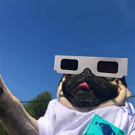 pug eclipse doug the pug is bloppin at the eclipse blop