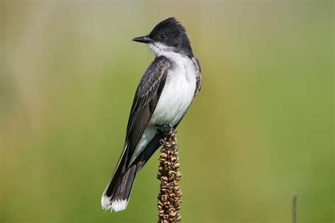 bird s eastern kingbird audubon field guide