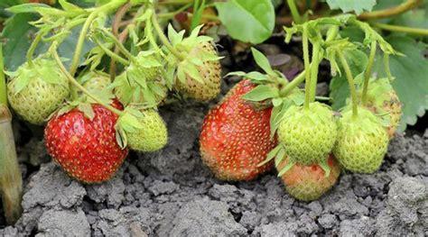 wann pflanze ich erdbeeren wann erdbeeren pflanzen erdbeeren pflanzen wann ist die