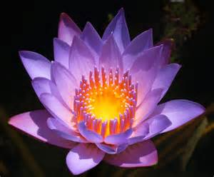 Is A Lotus A Water Water Lotus