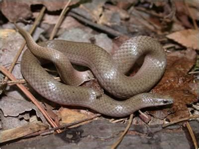 Light Brown Snake by Flashcards Snakes Of County Studyblue