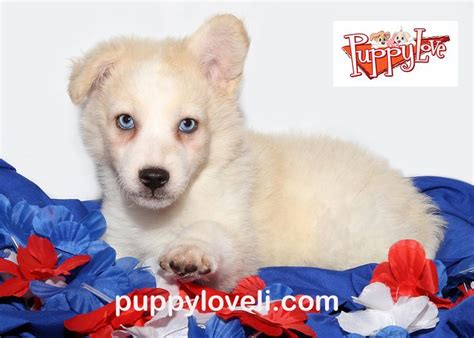 puppy franklin square 25 best ideas about pomsky for sale on