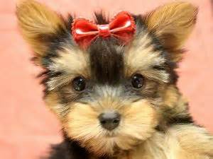 teacup yorkies for sale in ny terrier puppies in new york