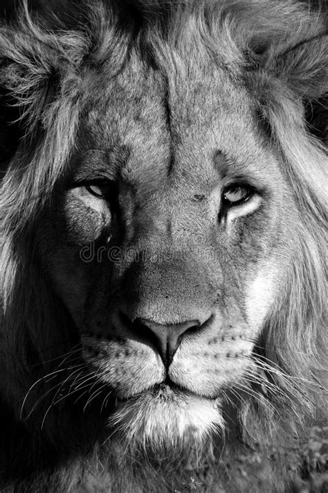A Young Male Lion Portrait In Black And White. South