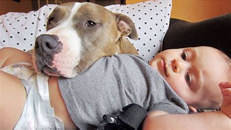 pit picture pit bull licks baby into a fit of laughter and is the