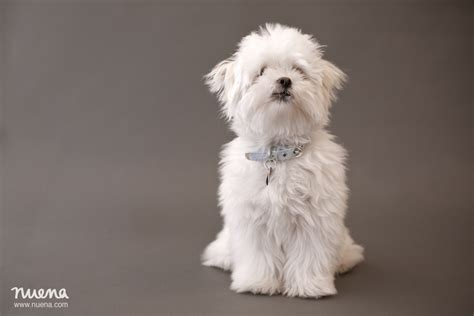 havanese maltese havanese maltese mix puppies breeds picture