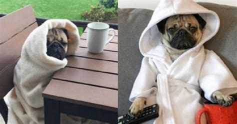 where did pugs originate these adorable pictures prove that doug the pug is all of that